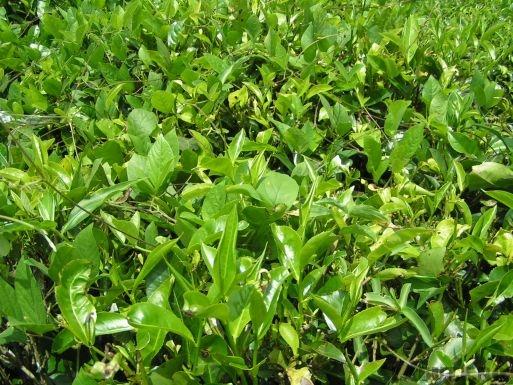 ceai verde Top 10 beneficii ale ceaiului verde