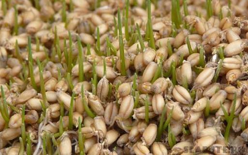 beneficii cereale incoltite Cereale – macerare, fermentare, incoltire (III)